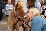 Miniature Therapy Horses Hit Big by Rachel McCarthy